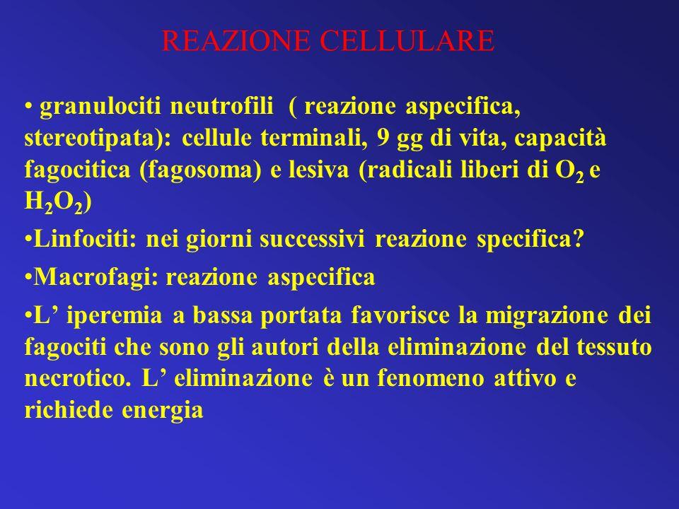 REAZIONE CELLULARE granulociti neutrofili ( reazione aspecifica, stereotipata): cellule terminali, 9 gg di vita, capacità fagocitica (fagosoma) e lesi