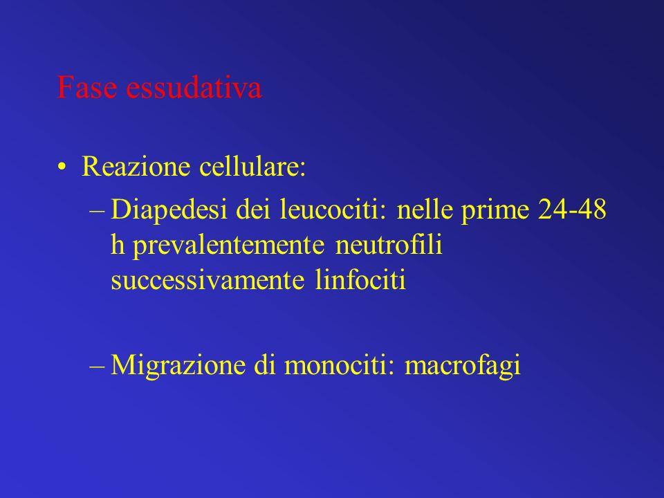 Fase essudativa Reazione cellulare: –Diapedesi dei leucociti: nelle prime 24-48 h prevalentemente neutrofili successivamente linfociti –Migrazione di