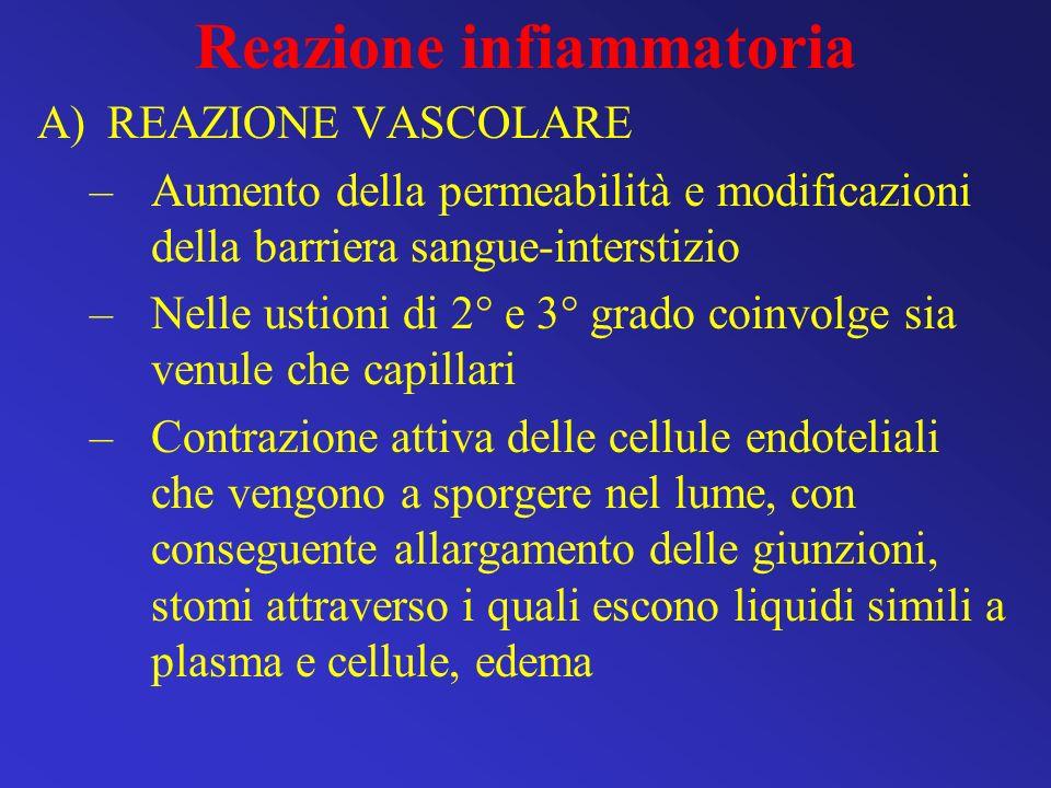 Reazione infiammatoria A)REAZIONE VASCOLARE –Aumento della permeabilità e modificazioni della barriera sangue-interstizio –Nelle ustioni di 2° e 3° gr