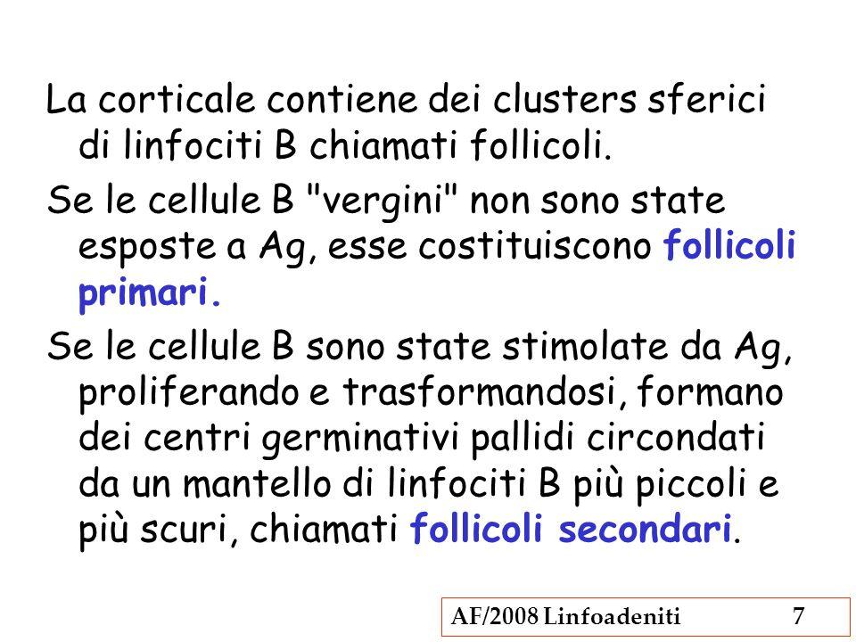 AF/2008 Linfoadeniti7 La corticale contiene dei clusters sferici di linfociti B chiamati follicoli. Se le cellule B