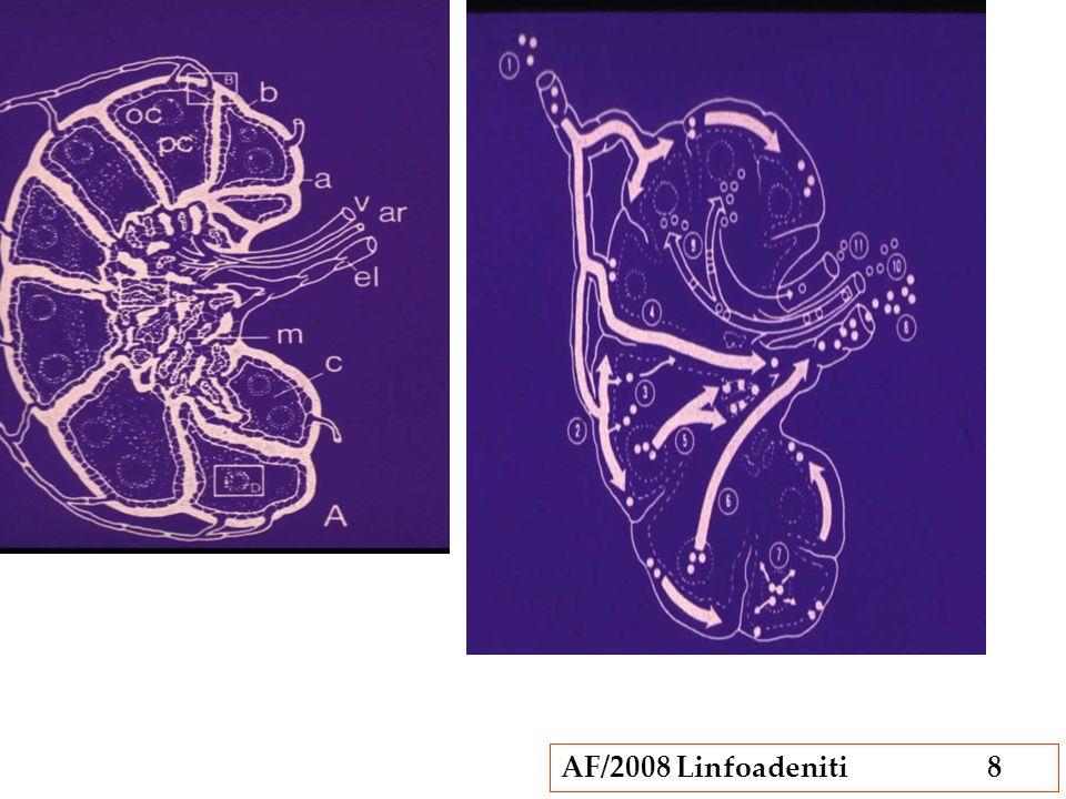 AF/2008 Linfoadeniti9 La ZONA PARACORTICALE si trova tra i follicoli della corticale, e vi si trovano i linfociti T e le venule con endotelio alto.