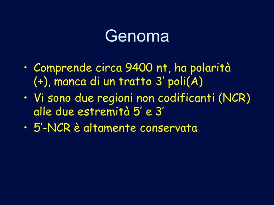 Genoma Comprende circa 9400 nt, ha polarità (+), manca di un tratto 3 poli(A) Vi sono due regioni non codificanti (NCR) alle due estremità 5 e 3 5-NCR