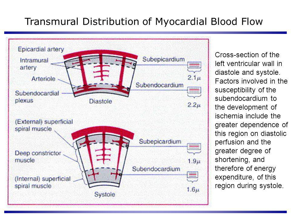 Transmural Distribution of Myocardial Blood Flow Cross-section of the left ventricular wall in diastole and systole. Factors involved in the susceptib