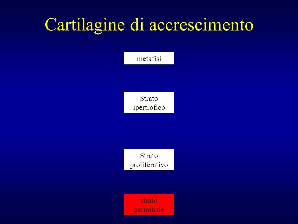 Cartilagine di accrescimento strato germinale Strato ipertrofico metafisi Strato proliferativo