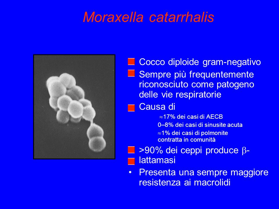 Moraxella catarrhalis Cocco diploide gram-negativo Sempre più frequentemente riconosciuto come patogeno delle vie respiratorie Causa di 17% dei casi di AECB 0–8% dei casi di sinusite acuta 1% dei casi di polmonite contratta in comunità >90% dei ceppi produce - lattamasi Presenta una sempre maggiore resistenza ai macrolidi