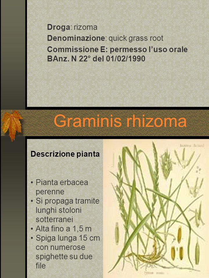 Droga: rizoma Denominazione: quick grass root Commissione E: permesso luso orale BAnz. N 22° del 01/02/1990 Graminis rhizoma Pianta erbacea perenne Si