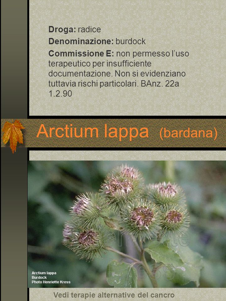 Arctium lappa (bardana) Droga: radice Denominazione: burdock Commissione E: non permesso luso terapeutico per insufficiente documentazione. Non si evi