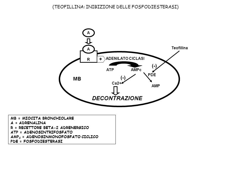 Ca2+ DECONTRAZIONE A R A ADENILATO CICLASI MB + ATP AMPc (TEOFILLINA: INIBIZIONE DELLE FOSFODIESTERASI) MB = MIOCITA BRONCHIOLARE A = ADRENALINA R = R