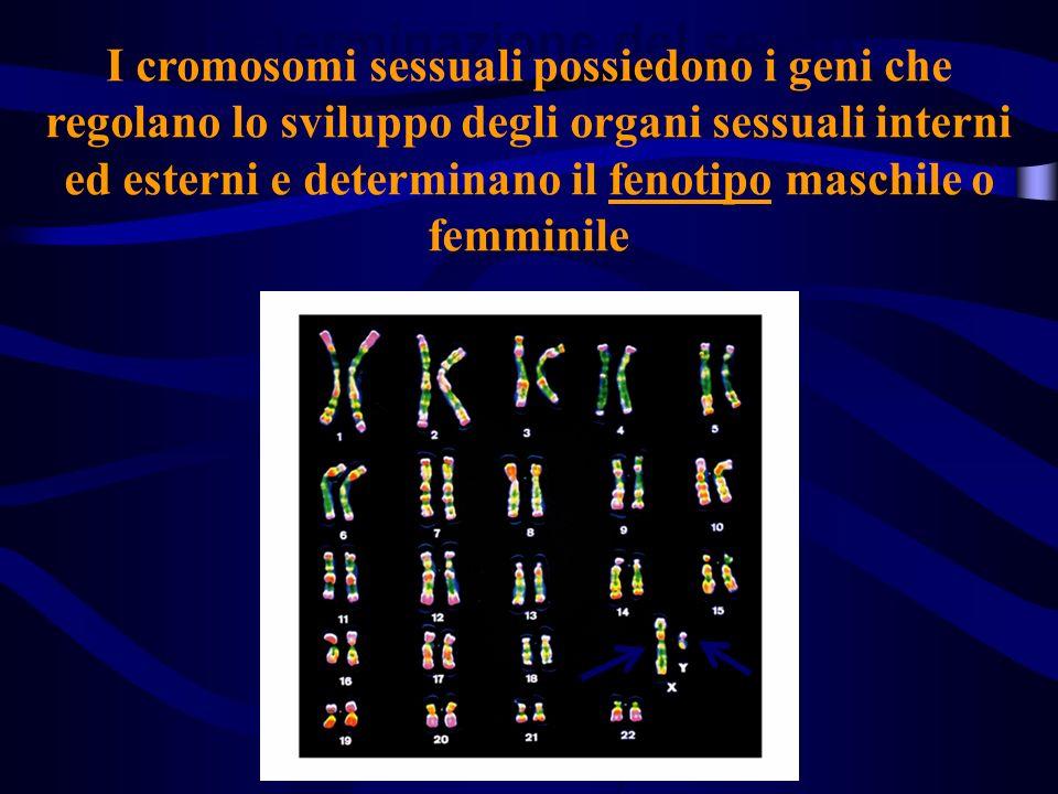 Determinazione del sesso I cromosomi sessuali possiedono i geni che regolano lo sviluppo degli organi sessuali interni ed esterni e determinano il fen