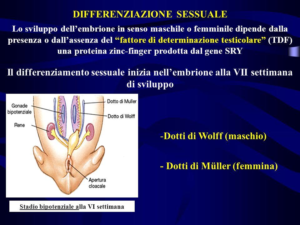 Lo sviluppo dellembrione in senso maschile o femminile dipende dalla presenza o dallassenza del fattore di determinazione testicolare (TDF) una protei
