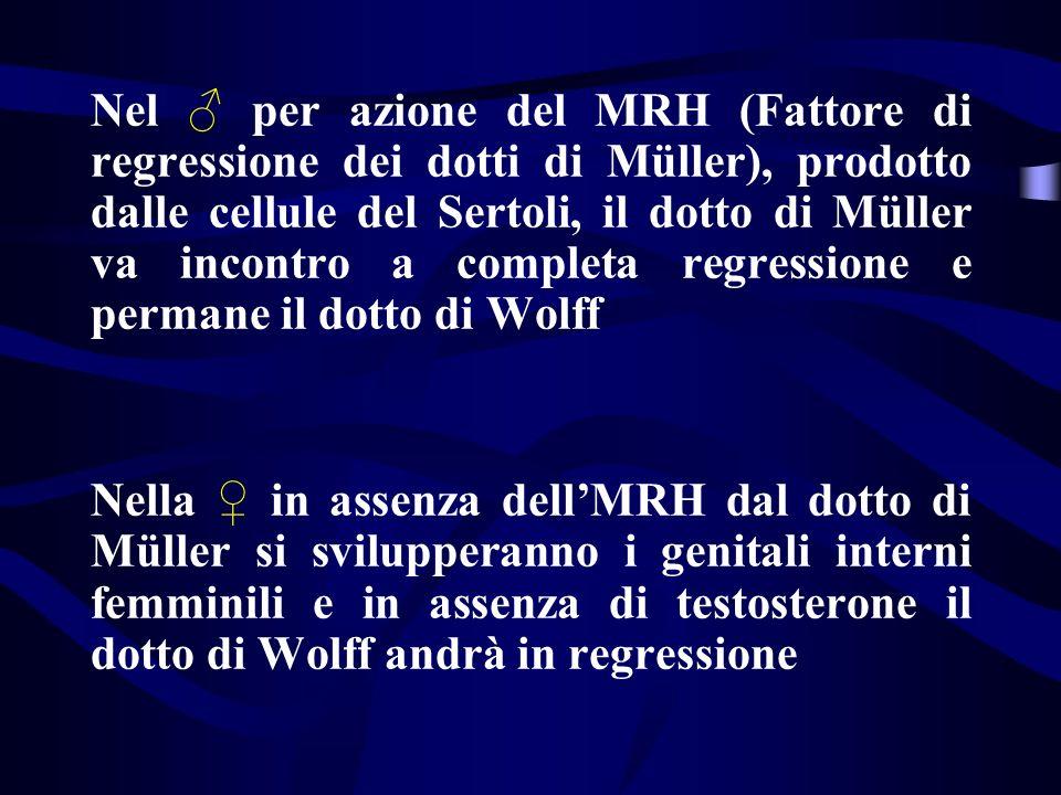 Nel per azione del MRH (Fattore di regressione dei dotti di Müller), prodotto dalle cellule del Sertoli, il dotto di Müller va incontro a completa reg