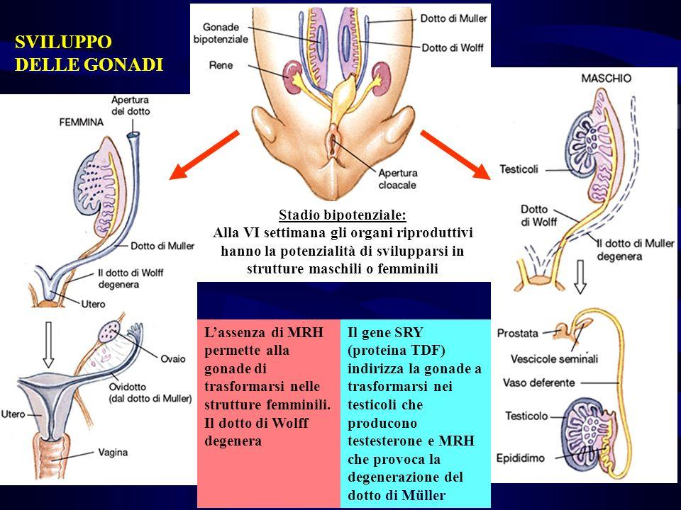 Stadio bipotenziale: Alla VI settimana gli organi riproduttivi hanno la potenzialità di svilupparsi in strutture maschili o femminili Lassenza di MRH