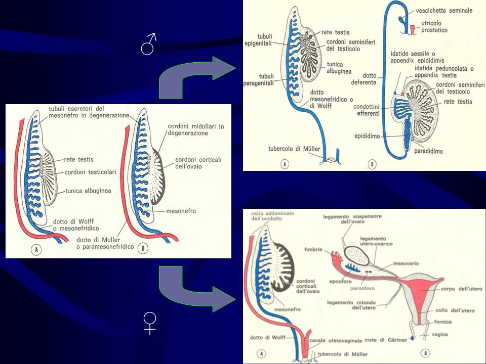 Malattia ereditaria che colpisce entrambi i sessi Causata da un difetto enzimatico trasmesso geneticamente, che riguarda la sintesi surrenalica di cortisolo e aldosterone Nella forma più comune (circa il 95% dei casi) lalterazione genetica consiste nel deficit dellenzima 21-idrossilasi SINDROME ADRENO-GENITALE