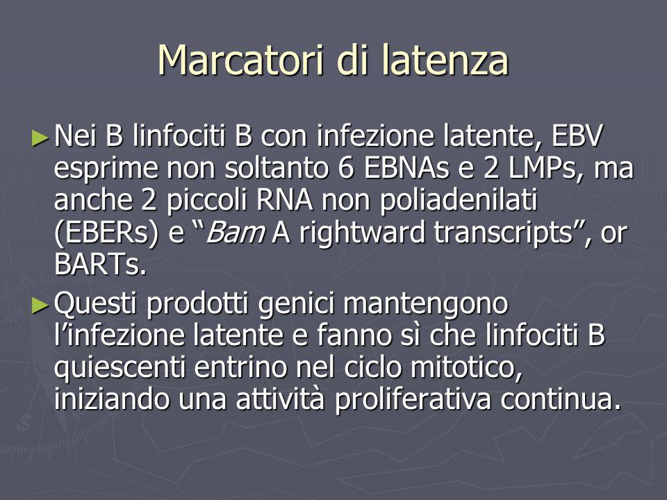 Marcatori di latenza Nei B linfociti B con infezione latente, EBV esprime non soltanto 6 EBNAs e 2 LMPs, ma anche 2 piccoli RNA non poliadenilati (EBE