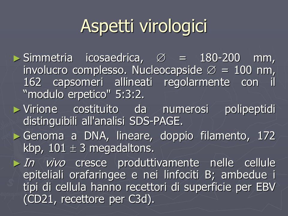 Aspetti virologici Simmetria icosaedrica, = 180-200 mm, involucro complesso. Nucleocapside = 100 nm, 162 capsomeri allineati regolarmente con il modul