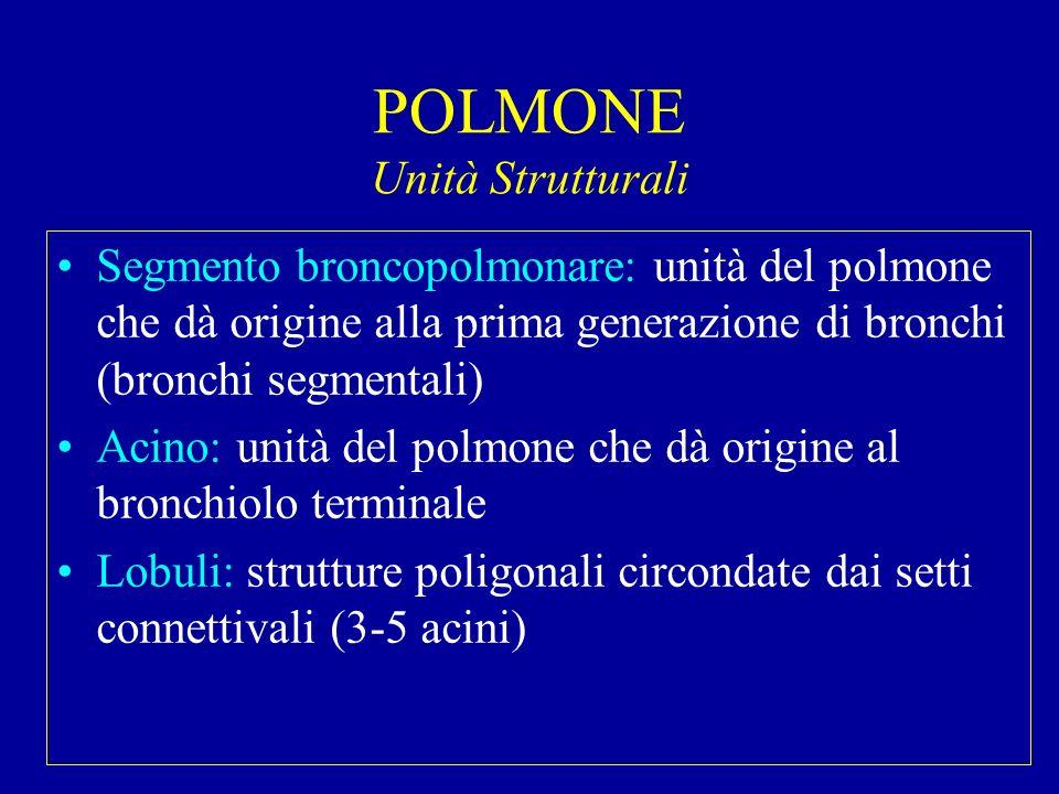 POLMONE Unità Strutturali Segmento broncopolmonare: unità del polmone che dà origine alla prima generazione di bronchi (bronchi segmentali) Acino: uni