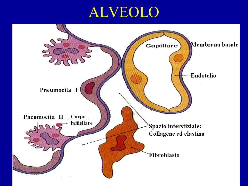 ALVEOLO Endotelio Membrana basale Pneumocita I Pneumocita II Corpo lamellare Fibroblasto Spazio interstiziale: Collagene ed elastina