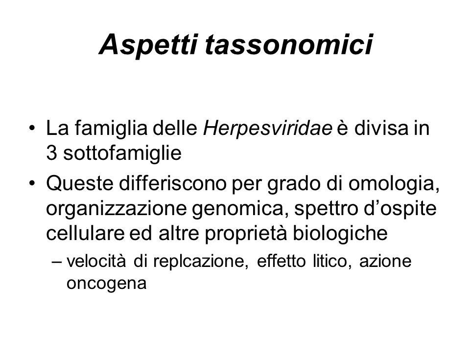 Aspetti tassonomici La famiglia delle Herpesviridae è divisa in 3 sottofamiglie Queste differiscono per grado di omologia, organizzazione genomica, sp