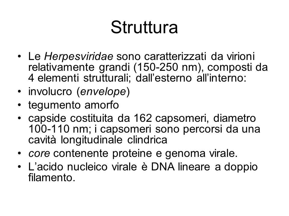 Struttura Le Herpesviridae sono caratterizzati da virioni relativamente grandi (150-250 nm), composti da 4 elementi strutturali; dallesterno allintern