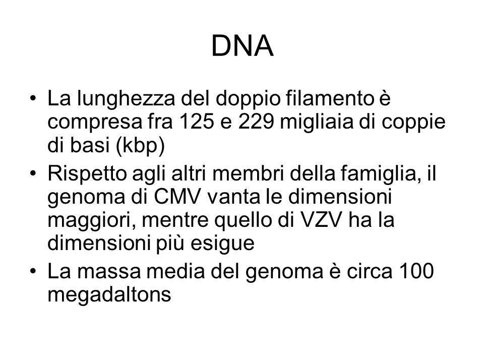 DNA La lunghezza del doppio filamento è compresa fra 125 e 229 migliaia di coppie di basi (kbp) Rispetto agli altri membri della famiglia, il genoma d