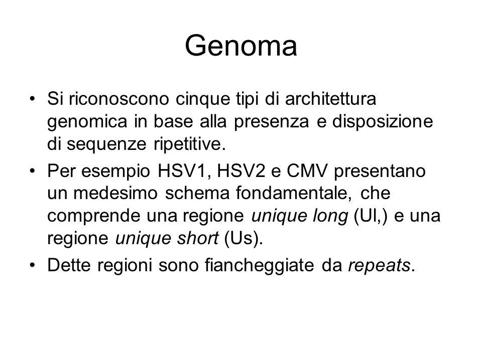 Genoma Si riconoscono cinque tipi di architettura genomica in base alla presenza e disposizione di sequenze ripetitive. Per esempio HSV1, HSV2 e CMV p