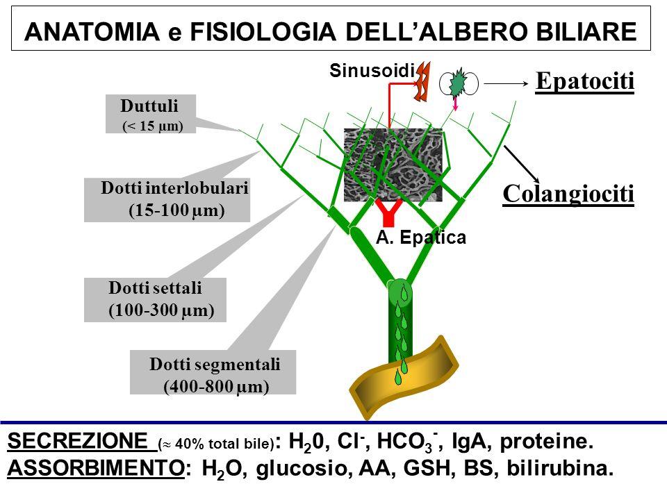 Duttuli (< 15 µm) Dotti interlobulari (15-100 µm) Dotti settali (100-300 µm) Dotti segmentali (400-800 µm) A. Epatica Sinusoidi SECREZIONE ( 40% total
