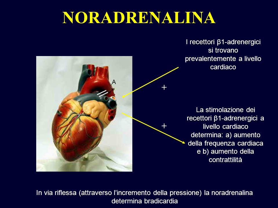 NORADRENALINA I recettori β1-adrenergici si trovano prevalentemente a livello cardiaco La stimolazione dei recettori β1-adrenergici a livello cardiaco