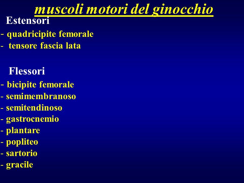muscoli motori del ginocchio Estensori - quadricipite femorale - tensore fascia lata Flessori - bicipite femorale - semimembranoso - semitendinoso - g