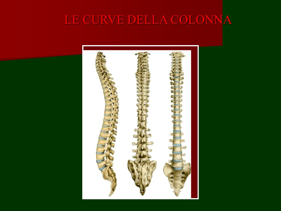 CONTENUTO: radici spinali Le radici dei nervi spinali (31 paia: 8 cervicali, 12 dorsali, 5 lombari, 3 sacrali) fuoriescono dal canale vertebrale attraverso i forami intervertebrali.