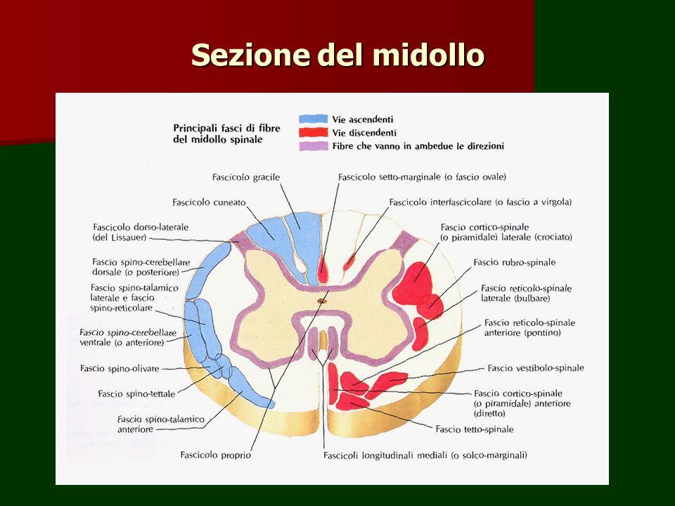 Sezione del midollo