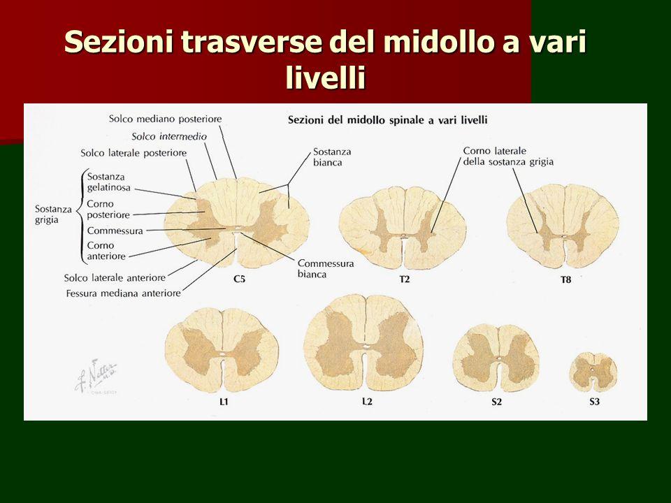 Sezioni trasverse del midollo a vari livelli