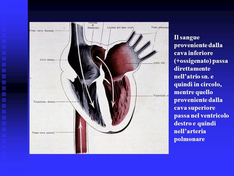 Il sangue proveniente dalla cava inferiore (+ossigenato) passa direttamente nellatrio sn. e quindi in circolo, mentre quello proveniente dalla cava su