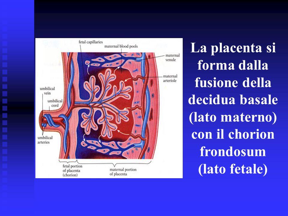 La placenta si forma dalla fusione della decidua basale (lato materno) con il chorion frondosum (lato fetale)