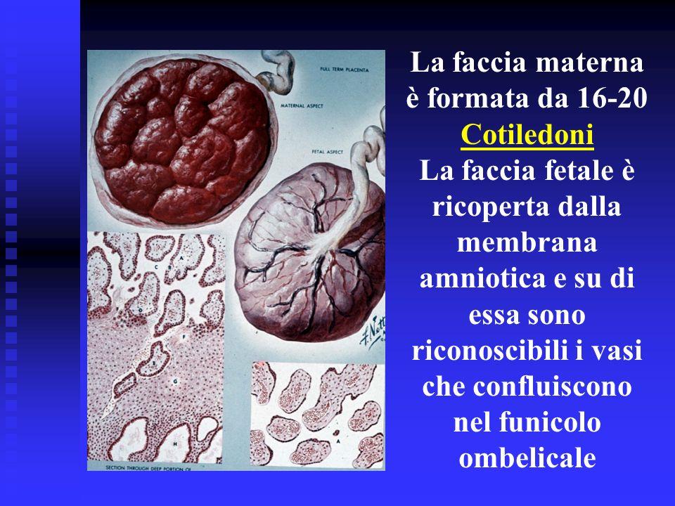 La faccia materna è formata da 16-20 Cotiledoni La faccia fetale è ricoperta dalla membrana amniotica e su di essa sono riconoscibili i vasi che confl