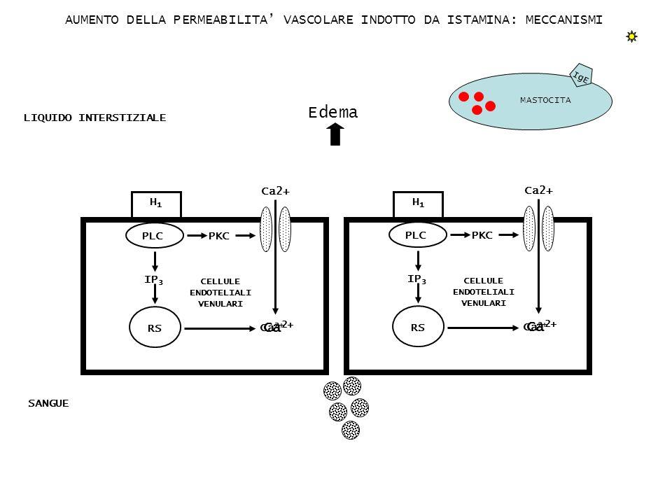 MASTOCITA IgE H1H1 CELLULE ENDOTELIALI VENULARI LIQUIDO INTERSTIZIALE AUMENTO DELLA PERMEABILITA VASCOLARE INDOTTO DA ISTAMINA: MECCANISMI PKC PLC IP