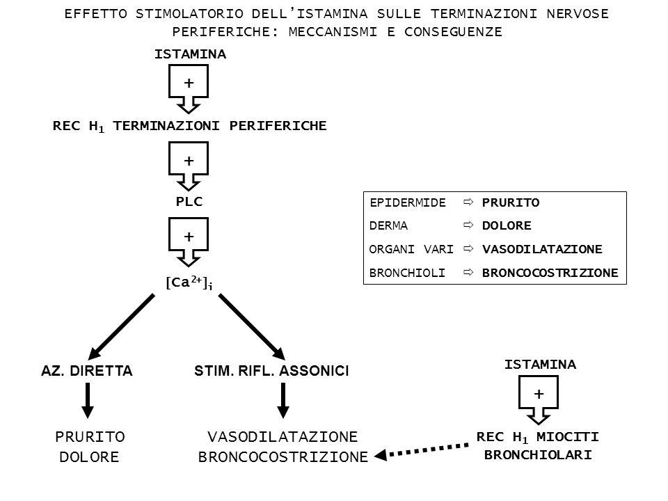 +++ ISTAMINA PLC Ca 2+ i AZ. DIRETTA STIM. RIFL. ASSONICI REC H 1 TERMINAZIONI PERIFERICHE PRURITO DOLORE VASODILATAZIONE BRONCOCOSTRIZIONE EPIDERMIDE