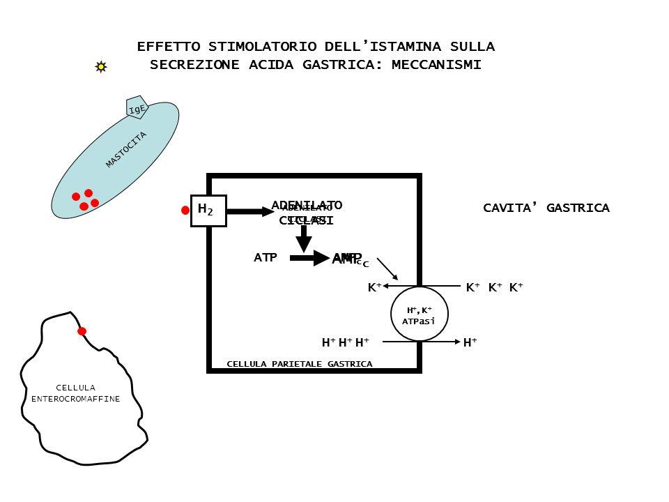 H2H2 ADENILATO CICLASI ATP H +,K + ATPasi K+K+ H+H+ CELLULA PARIETALE GASTRICA EFFETTO STIMOLATORIO DELLISTAMINA SULLA SECREZIONE ACIDA GASTRICA: MECC