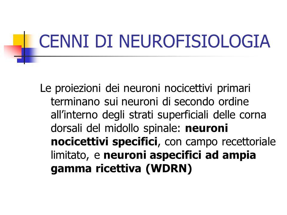Le proiezioni dei neuroni nocicettivi primari terminano sui neuroni di secondo ordine allinterno degli strati superficiali delle corna dorsali del midollo spinale: neuroni nocicettivi specifici, con campo recettoriale limitato, e neuroni aspecifici ad ampia gamma ricettiva (WDRN) CENNI DI NEUROFISIOLOGIA