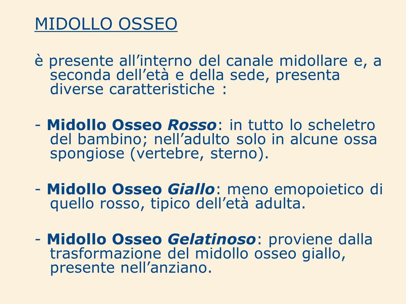 MIDOLLO OSSEO è presente allinterno del canale midollare e, a seconda delletà e della sede, presenta diverse caratteristiche : - Midollo Osseo Rosso: