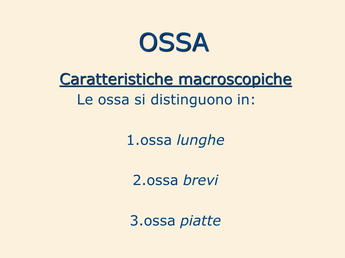 OSSA Caratteristiche macroscopiche Le ossa si distinguono in: 1.ossa lunghe 2.ossa brevi 3.ossa piatte