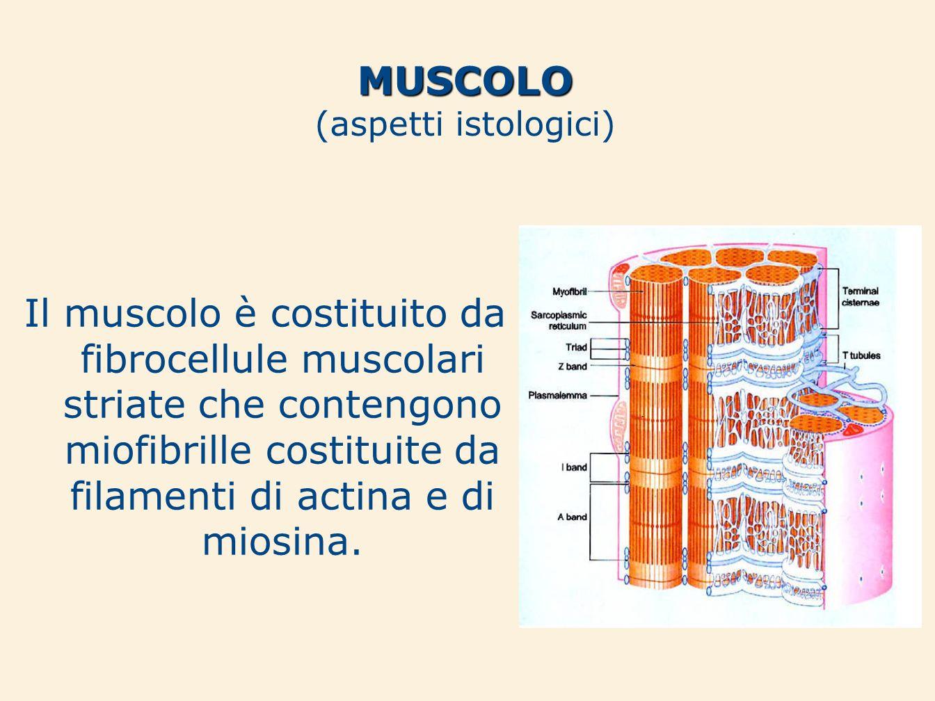 Il muscolo è costituito da fibrocellule muscolari striate che contengono miofibrille costituite da filamenti di actina e di miosina. MUSCOLO (aspetti