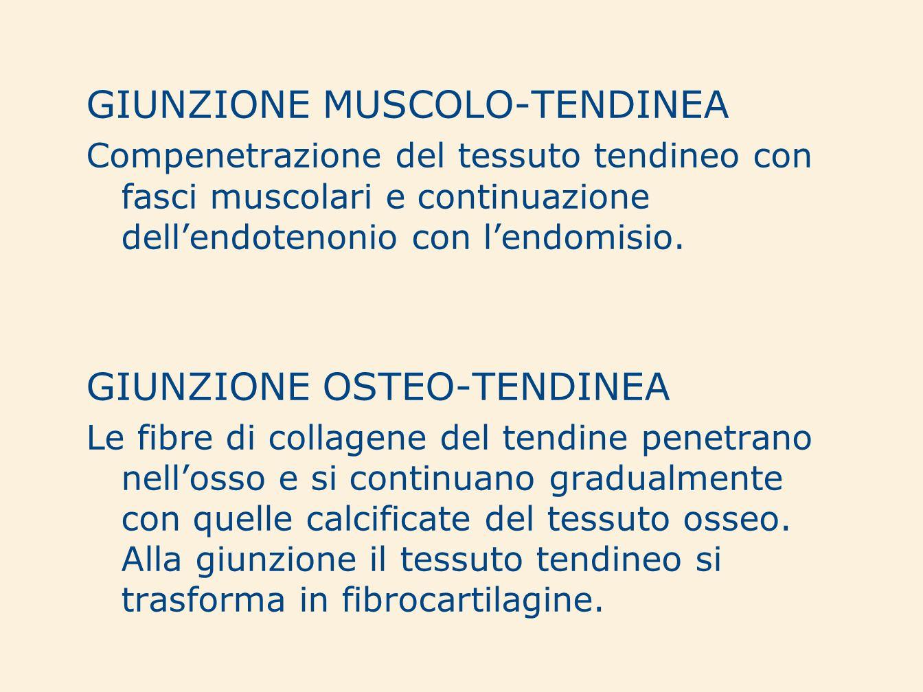 GIUNZIONE MUSCOLO-TENDINEA Compenetrazione del tessuto tendineo con fasci muscolari e continuazione dellendotenonio con lendomisio. GIUNZIONE OSTEO-TE