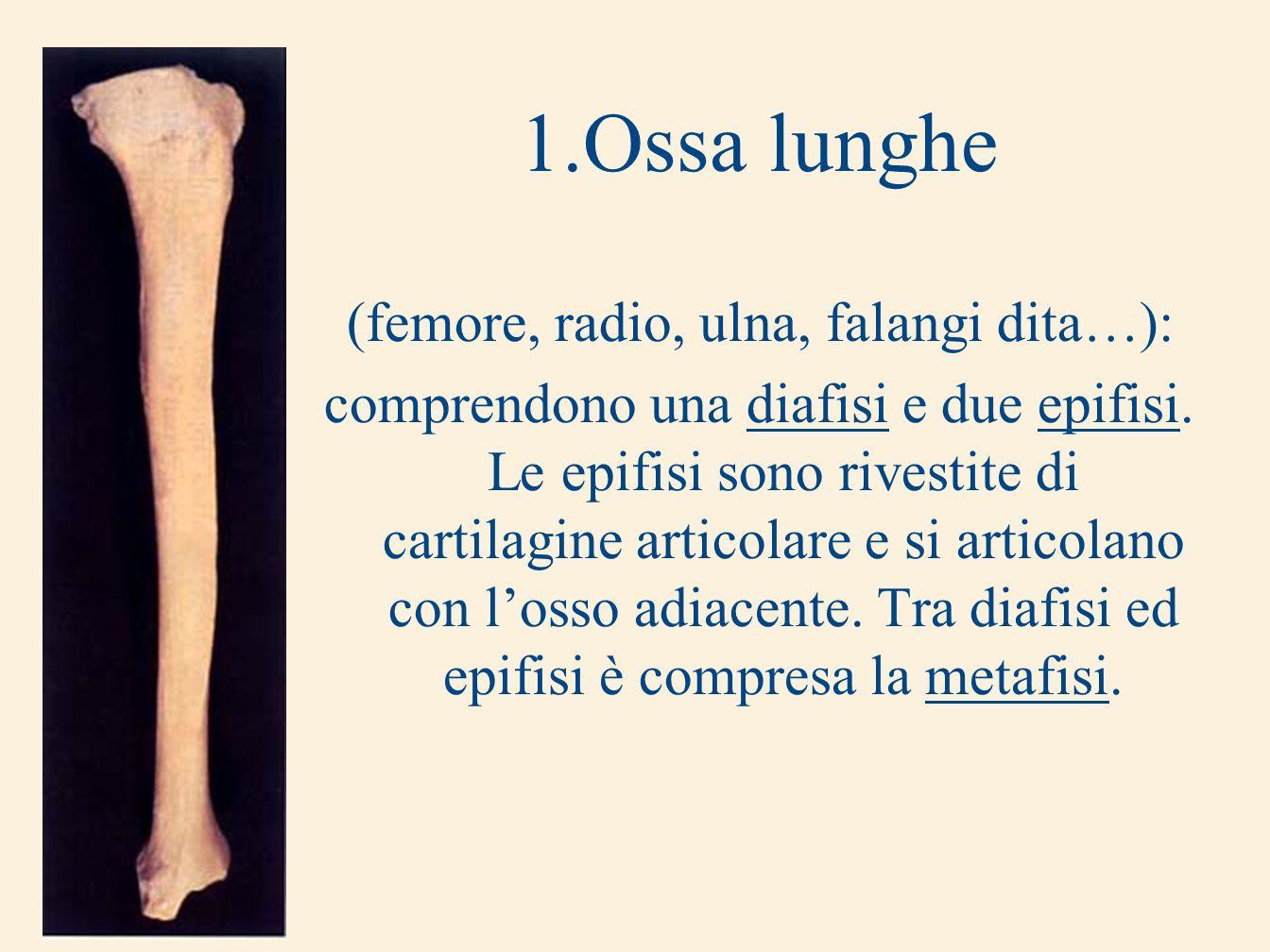 1.Ossa lunghe (femore, radio, ulna, falangi dita…): comprendono una diafisi e due epifisi. Le epifisi sono rivestite di cartilagine articolare e si ar