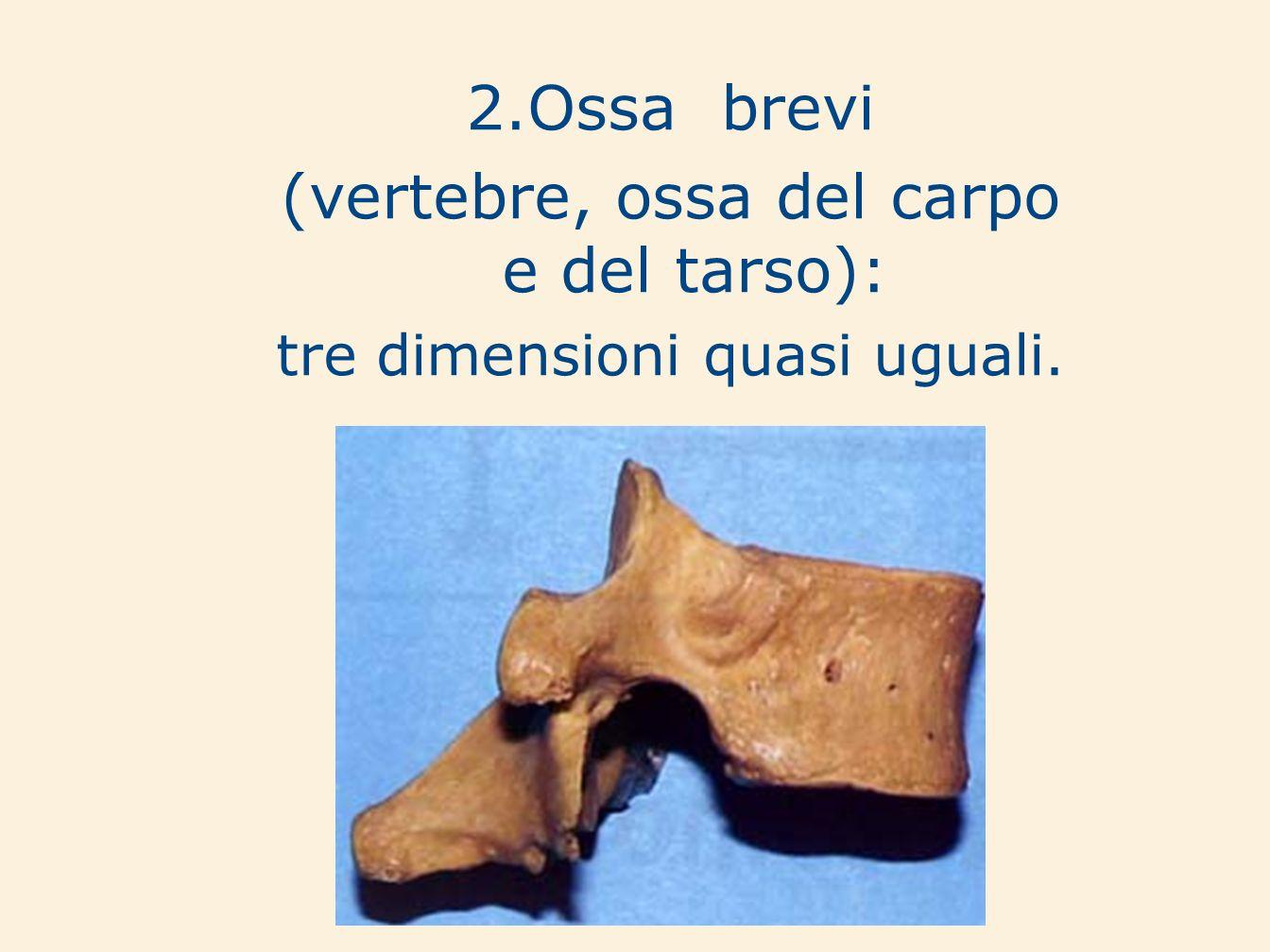 2.Ossa brevi (vertebre, ossa del carpo e del tarso): tre dimensioni quasi uguali.
