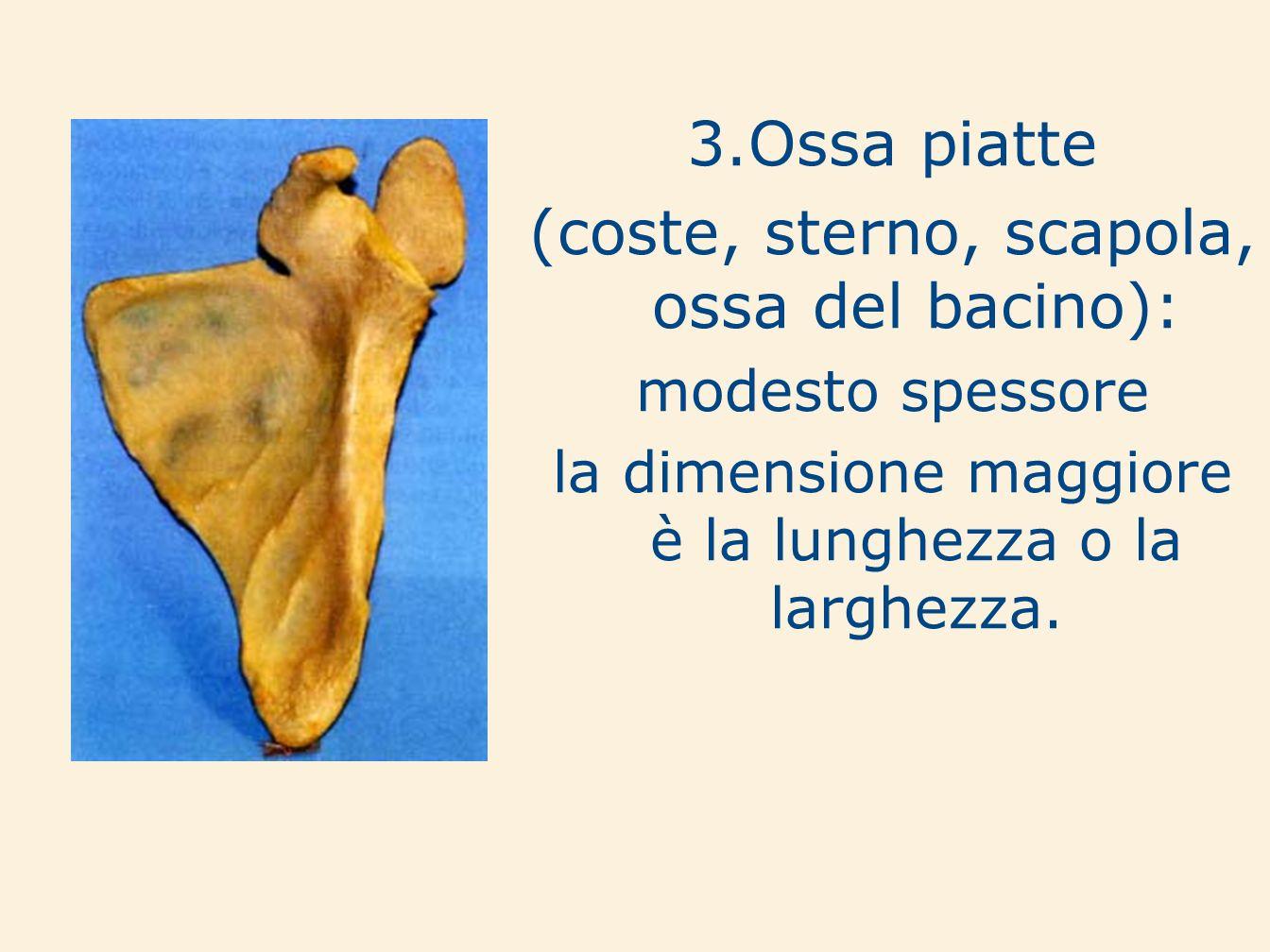 3.Ossa piatte (coste, sterno, scapola, ossa del bacino): modesto spessore la dimensione maggiore è la lunghezza o la larghezza.