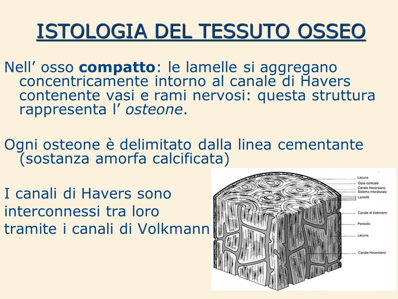 ISTOLOGIA DEL TESSUTO OSSEO Nell osso compatto: le lamelle si aggregano concentricamente intorno al canale di Havers contenente vasi e rami nervosi: q