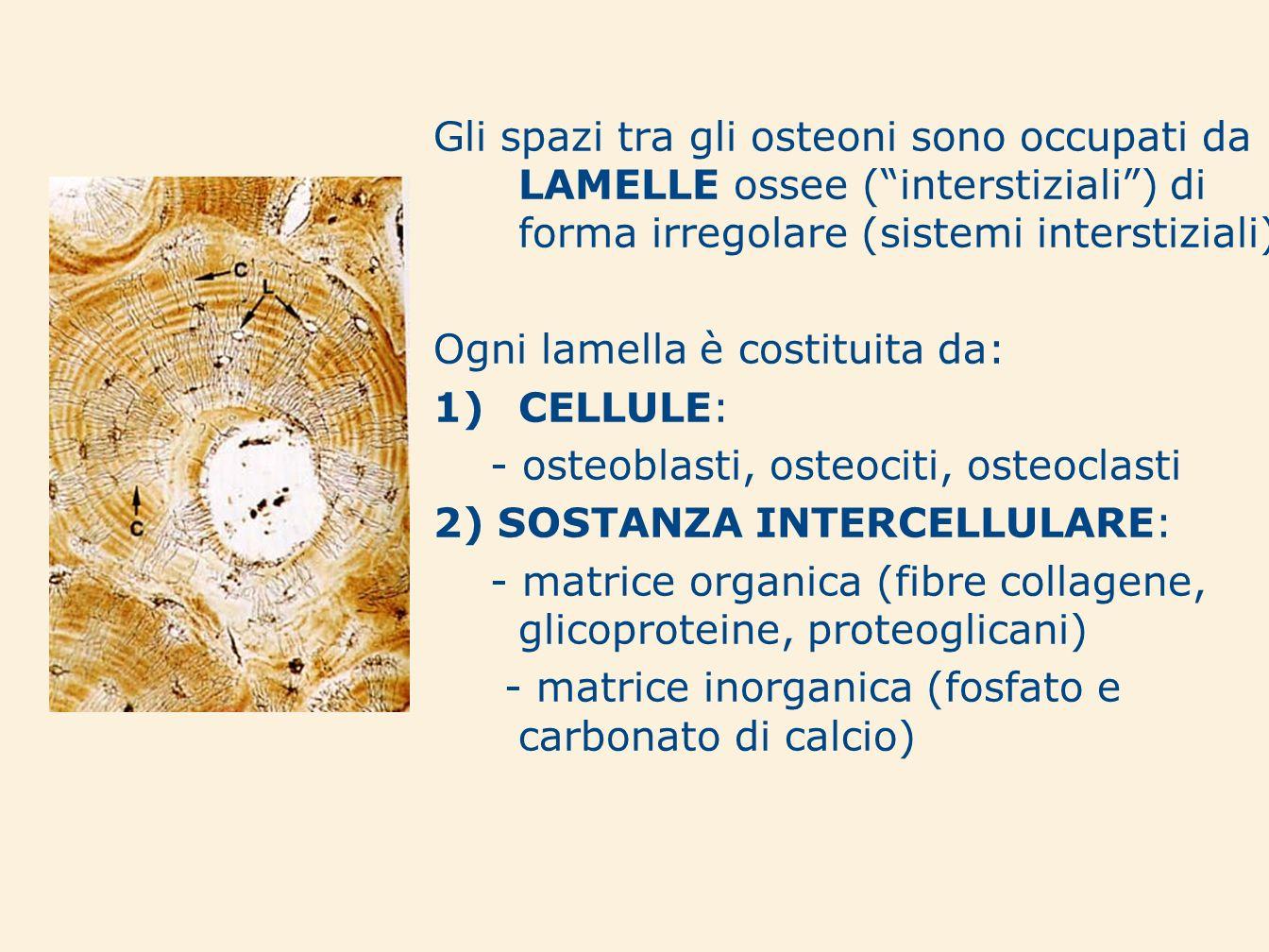 Gli spazi tra gli osteoni sono occupati da LAMELLE ossee (interstiziali) di forma irregolare (sistemi interstiziali) Ogni lamella è costituita da: 1)C