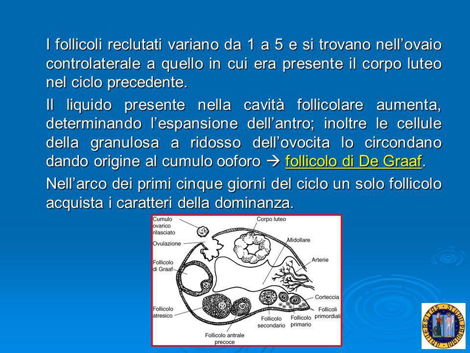 I follicoli reclutati variano da 1 a 5 e si trovano nellovaio controlaterale a quello in cui era presente il corpo luteo nel ciclo precedente. Il liqu