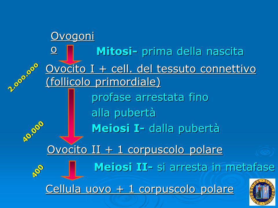 Ovogoni o Ovocito I + cell. del tessuto connettivo (follicolo primordiale) Ovocito II + 1 corpuscolo polare Cellula uovo + 1 corpuscolo polare Mitosi-