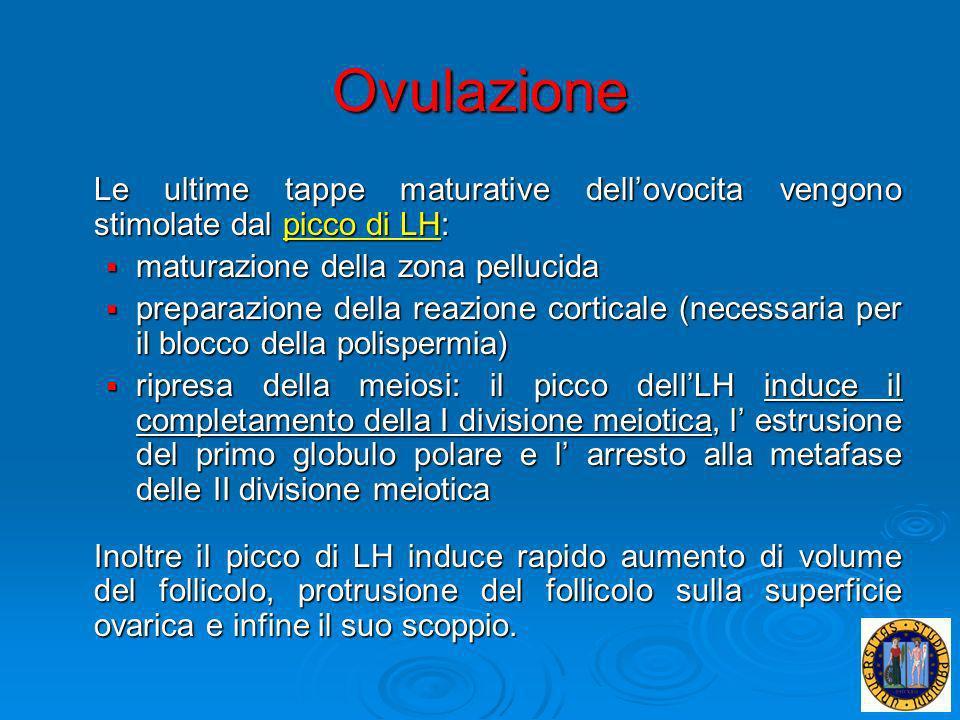 Ovulazione Le ultime tappe maturative dellovocita vengono stimolate dal picco di LH: maturazione della zona pellucida maturazione della zona pellucida